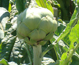 Artichoke, anyone?