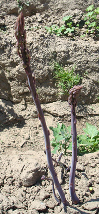 Spears of purple asparagus