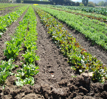 A field of lettuces at Earthbound Farm