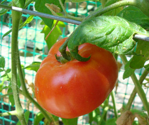 My home-grown tomato