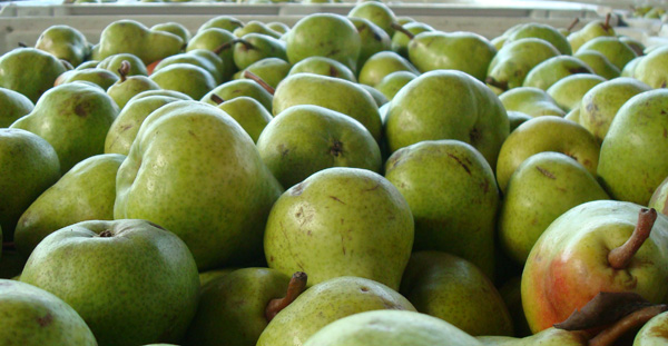 Barlett pears to be turned into Aqua Perfecta Poire William