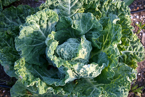 Savoy cabbage at Love Apple Farm, where Manresa Chef David Kinch finds his muse.