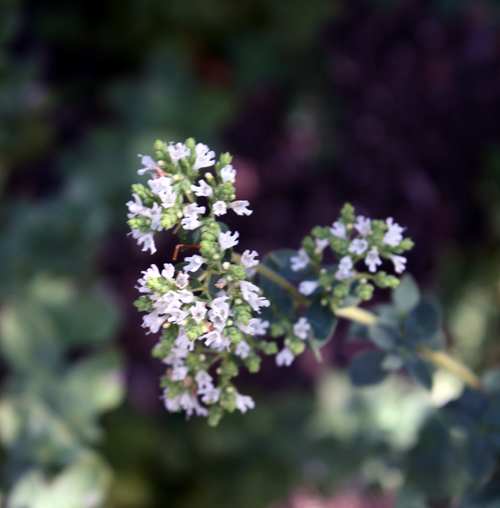 Flowering oregano in the secret garden.