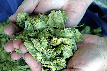 Oregon hops ready to be used in beer-making. (Photo courtesy of Greg Robeson)
