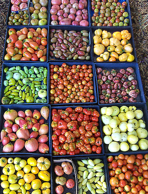 Grow your own tomatoes -- with the help of Love Apple Farm. (Photo courtesy of the farm)
