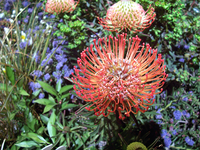 Protea flower. (Photo courtesy of the San Francisco Flower & Garden Show)