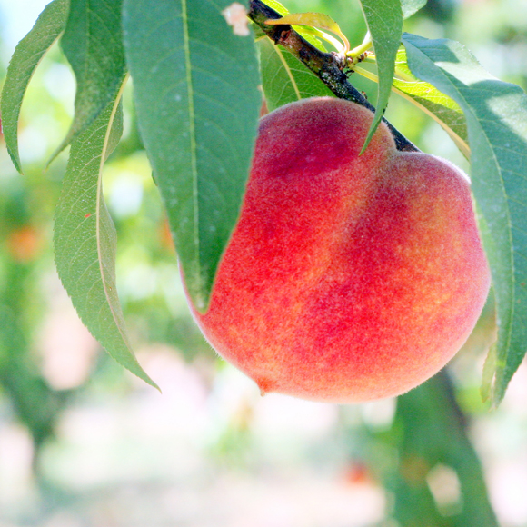A beautiful Suncrest peach. (Photo courtesy of Frog Hollow Farm)