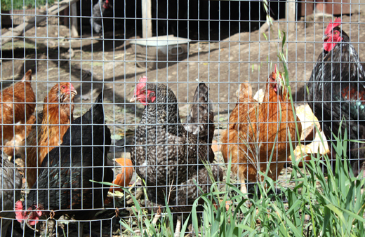 Chickens lay eggs that are used in many desserts at Manresa.
