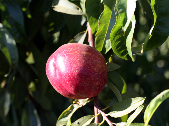 Nectarine tree at Frog Hollow Farm.