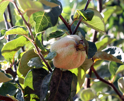 Quince tree.