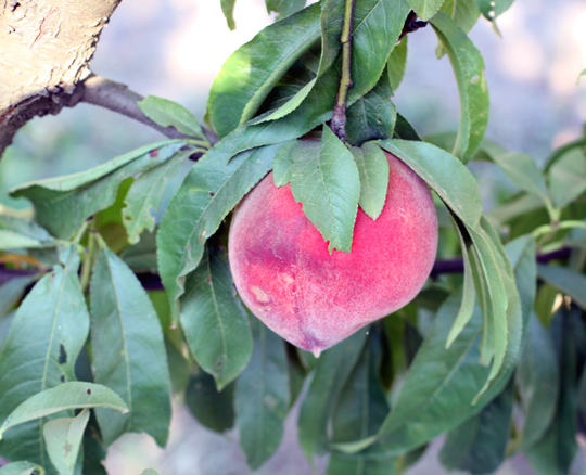 One of the many varieties of peaches the farm is famous for.