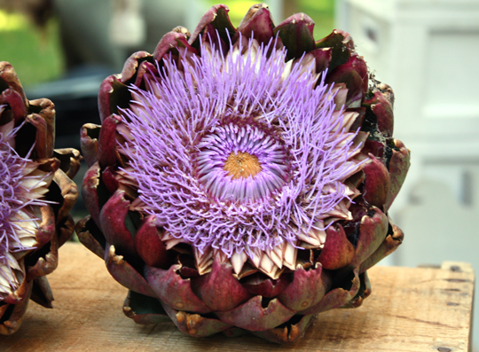 An artichoke flower at the farmers market.