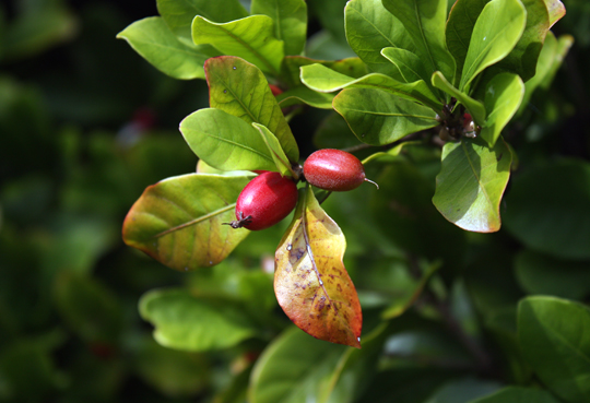 "The unusual ""miracle fruit.''"