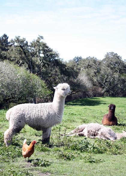 Alpacas guard the chickens from predators.
