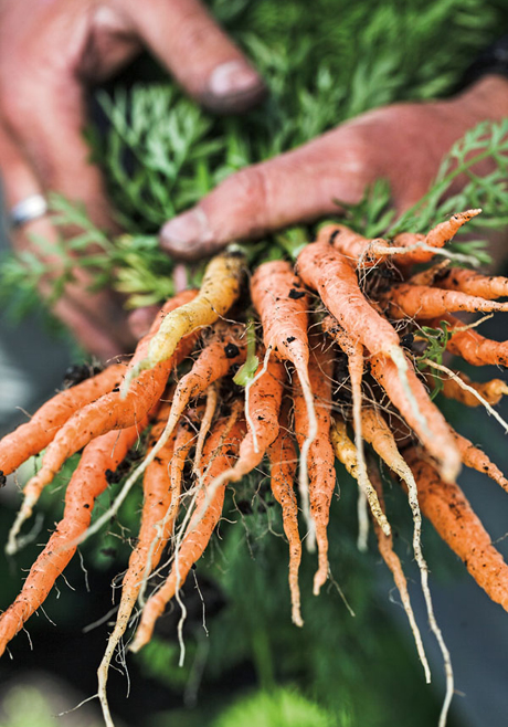 Carrots from SMIP Ranch. (Photo by Ed Anderson)