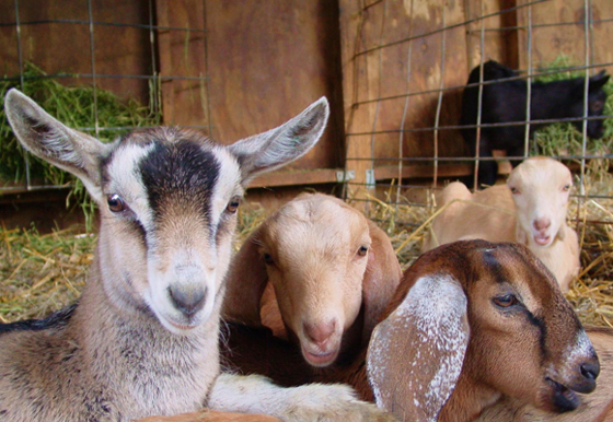 The kids from Redwood Hill Farm. (Photo courtesy of Redwood Hill Farm)