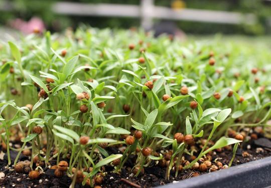 Micro coriander.