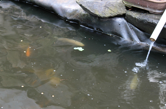 Tilapia swimming in the water that feeds the plants...