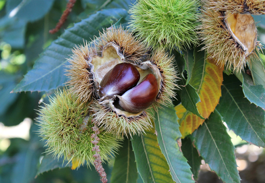 A ripe chestnut just before falling from a tree.