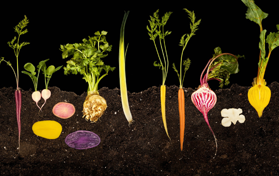 Root vegetables. (Photo courtesy of Modernist Cuisine)