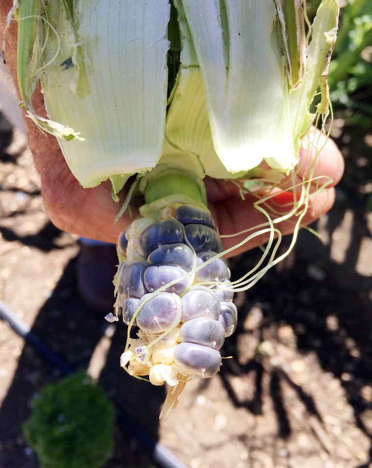 Blue Jade corn growing in the Wente Vineyards produce garden.