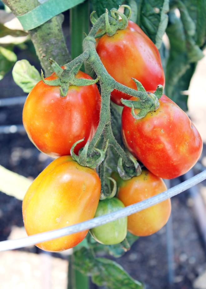 Tomatoes growing abundantly.