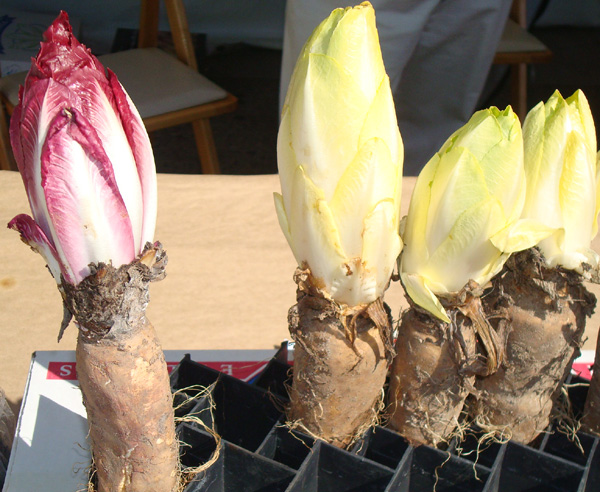 Endive grown by Solano's California Vegetable Specialties