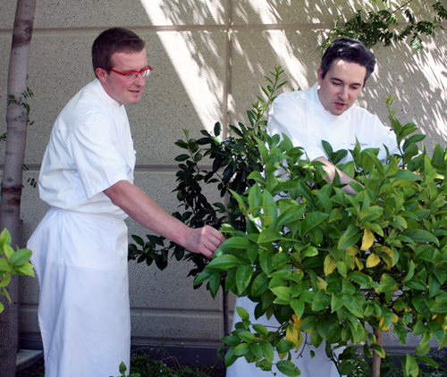 Executive Chef Alessandro Cartumini (left) and Sous Chef Edward Higgins (right) inspect the garden's citrus trees.