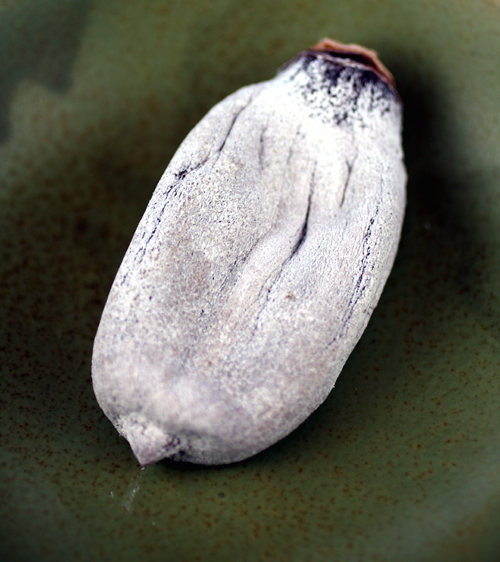 Hoshigaki -- a persimmon dried in the traditional Japanese method.