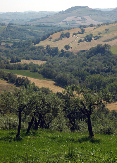 Nudo's Piantone olive grow. (Photo courtesy of Nudo)