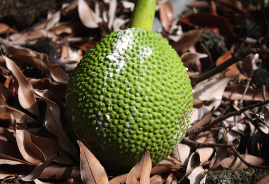 Jackfruit, which releases a sticky, latex-like substance when you cut into it.