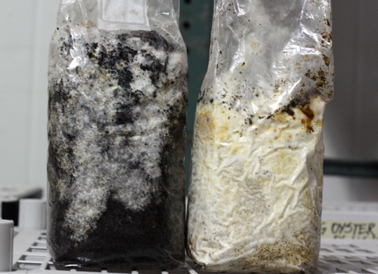 In the bag on the left, the mushroom spawns are just starting to grow iin the coffee grounds. In the bag on the right, they are ready to start producing mushrooms.