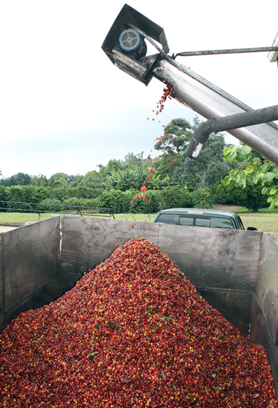 The pulper extracts the beans from the fruit.