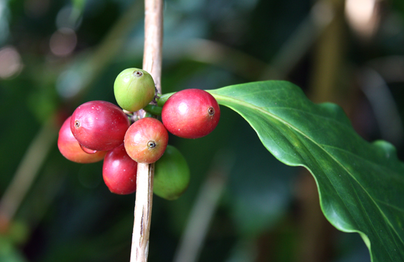 """Red """"cherries'' on a Kona coffee tree are the ripe fruit, from which the coffee seeds or beans come from."""