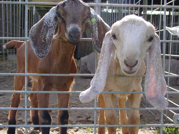 Nubian goat kids at Redwood Hill Farm. (Photo courtesy of the farm)