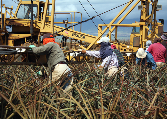 Workers plant and pick the pineapples by hand.