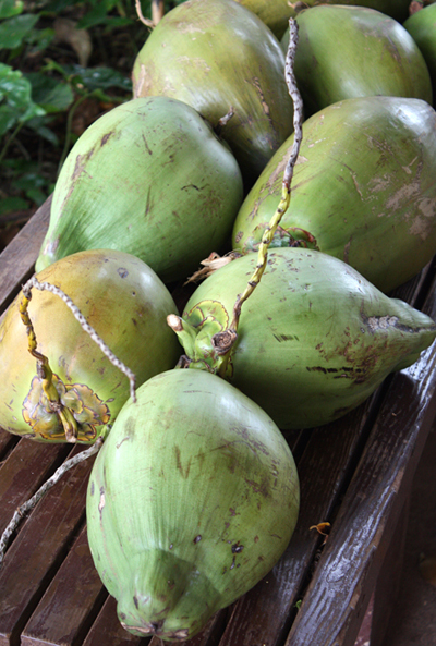 Young coconuts, ready to be cracked open for refreshing juice.