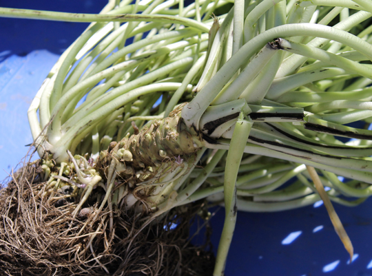 The root, the stalks and the leaves are all edible -- and pack a snappy, sweet heat.