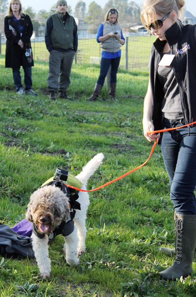 A truffle dog set to go to work, complete with a GoPro camera.