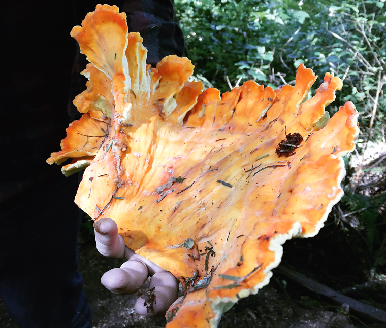 A foraged Chicken of the Woods mushroom.